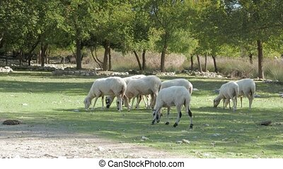 Sheep and lambs grazing in a green meadow in the countryside. 4k