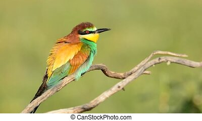 bee-eater on tree - Colorful bright bee-eater on tree branch...