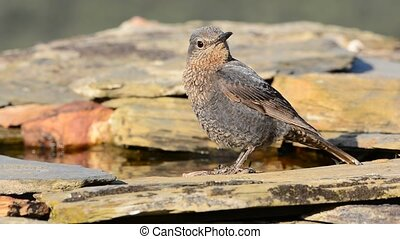 Young Blue Rock Thrush perched among the rocks