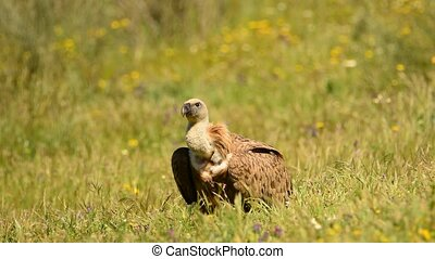 Vulture griffon eating carrion in the pasture