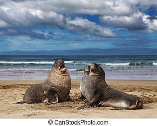 Wild sea lions - Sea lions on the beach, Cannibal Bay, New...