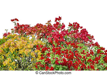 Mixed colors flowers of bougainvillea on shrubs - Mixed...