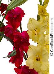 rojo, y, amarillo, gladiolo, flores,