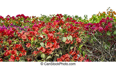 Bougainvillea flowers of red and mixed colors