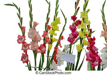 tallos, de, gladiola, flores, en, blanco,