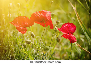 Red spring poppy - Red poppy flowers blooming in the green...