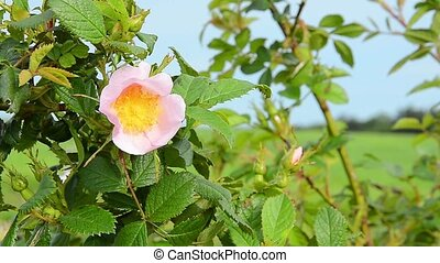 Pink wild Bulgarian rose bush on the wind in the evening sun