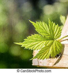 Hop Leaf, close-up - Hop Leaf, close up