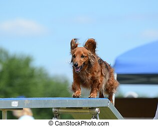 Dachshund at a Dog Agility Trial - Dachshund Running on a...