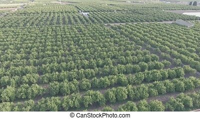Aerial view of orange tree field in flat color - Top view of...