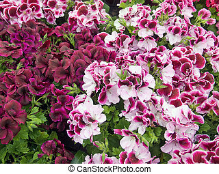 Geraniums - Martha Washington geraniums at a garden center