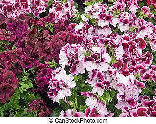 Geraniums - Martha Washington geraniums at a garden center