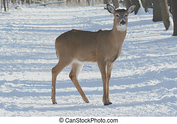 A Snow Doe Cameo - Whitetail deer doe standing on a snow...