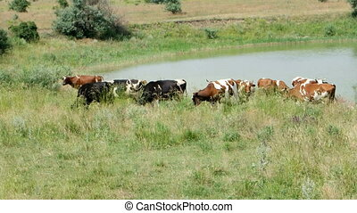 Grazing Cows in Summer Landscape - Dairy Cattle under a...