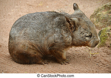 hairy nosed wombat - the hairy nosed wombat is wandering on...