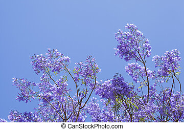 natural floral background of jacaranda flowers against blue...