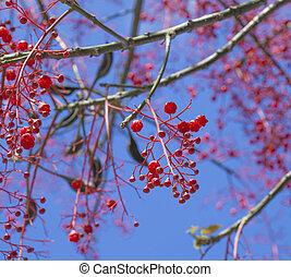 Brachychiton acerifolius, Illawarra Flame Tree flowers...
