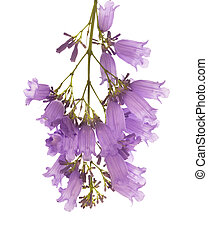 jacaranda flowers isolated on white background - jacaranda...