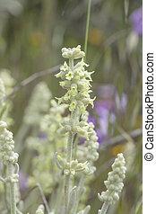 Flora of Gran Canaria - Sideritis dasygnaphala, mountain tea...