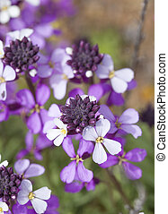 abundant flowering of Erysimum albescens, plant endemic of...