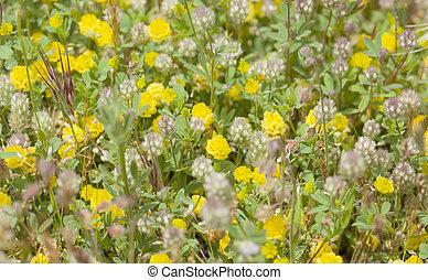 flora of Gran Canaria, Flowering Trifolium arvense,...