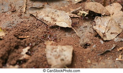 Ant Trail in Karura Forest, Kenya - Close-up shot of an ant...