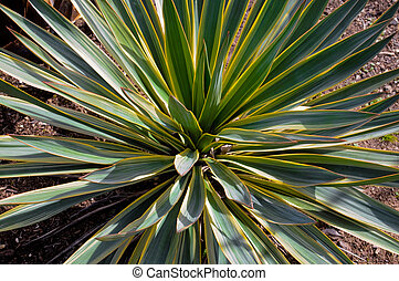 Close up of yucca plant in flower bed. - Close-up view of...