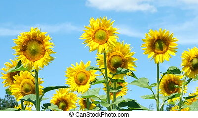 Field of sunflowers - sunflower with blue sky and beautiful...
