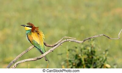 bee-eater on tree branch