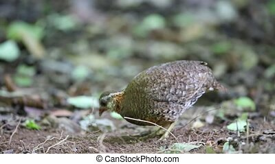 Scaly-breasted Partridge - Green-legged Partridge or...