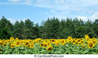 Sunflowers against the blue sky - Beautiful landscape...