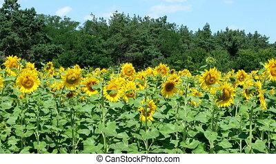 Sunflowers against the blue sky
