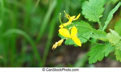 Yellow Flowers celandine