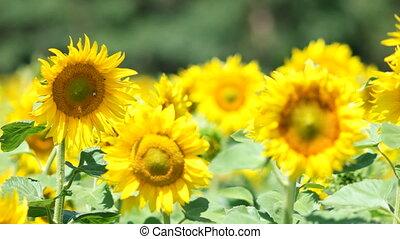 Field of sunflowers - Beautiful landscape sunflower field...