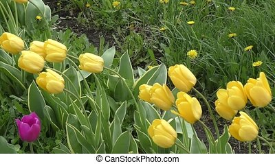 Yellow tulips swinging in the wind after the spring rain