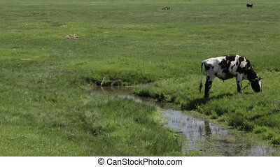 Cow in a meadow near river - Grazing Black and White Cow in...