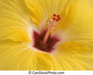 Yellow hibiscus close-up - close-up of yellow hibiscus...