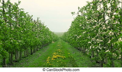 Blooming orchard in the rain. Apple trees in blossom. Dolly...
