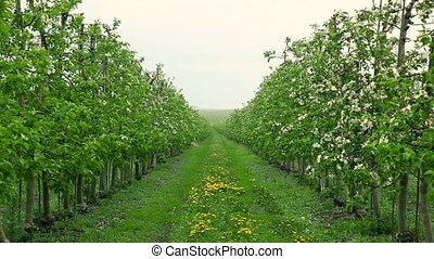 Blooming orchard in the rain. Apple trees in blossom....