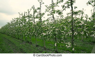 Blooming orchard. Apple Trees - Blooming orchard. Apple...
