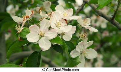 Blooming orchard. Apple Trees