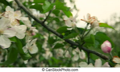 Blooming orchard Apple Trees - Blooming orchard Apple trees...