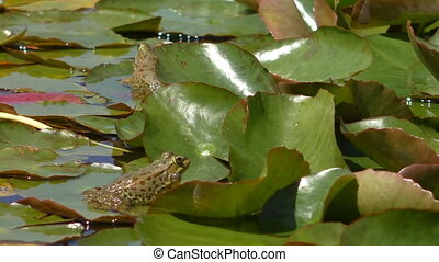 Two frogs, one croaking - Close up of two frogs in the lush...