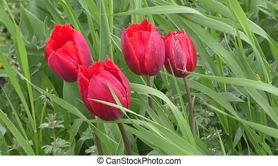 Double tulip red color swinging in the wind