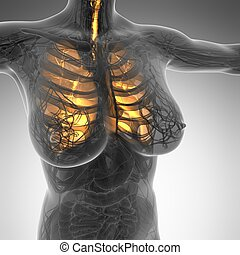 Ciencia, anatomía, de, mujer, cuerpo, con, brillo,...