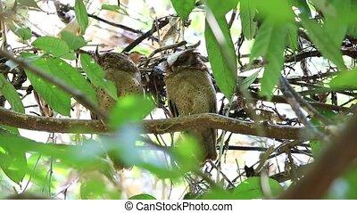 White-fronted scops owl Otus sagittatus in Thailand