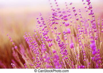 Lavender field. - Lavender field over sunser sky. Beautiful...