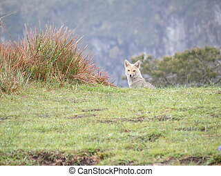 Small wolf lobo guara - Small south-american wolf called...