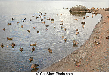 Summer Waterfowl Congregation - Mixed flocks of American...