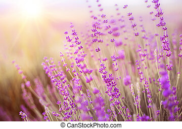 Levender bushes - Lavender bushes closeup on sunset Sunset...